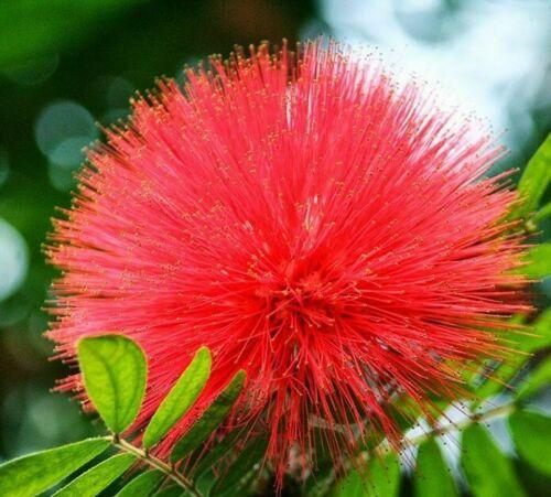20Pcs Acacia Albizia Julibrissin Flower-Tree Seeds Rare Perennial Bonsai Garden