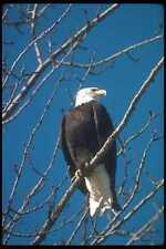 135079 Bald Eagle Sitting In Tree A4 Photo Print