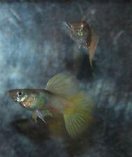 Pink - Yellow Pingu Guppies Live Aquarium Fish 1 trio Tropical Fish Guppy