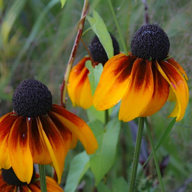Rudbeckia amplexicaulis (Clasping Coneflower) Fresh Seeds •RARE Garden Flower UK