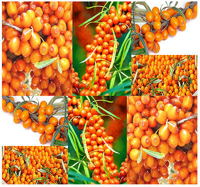 BULK Sea Buckthorn Seaberry Sea Berry Hippophae Rhamnoides Medicinal Shrub Seeds