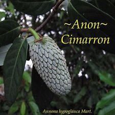 ~ANON CIMARRON~ Annona hypoglauca WILD CHERIMOYA Columbia Live small Pot'd Plant