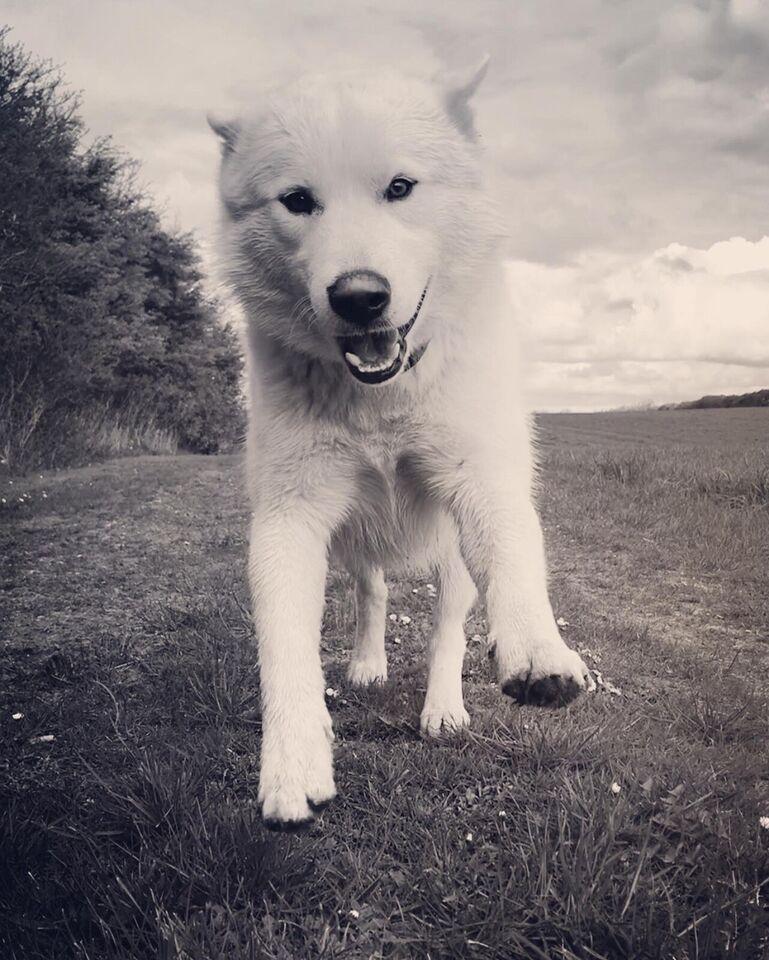 Avlstjeneste Vores dejlige hanhund Boss er klar...