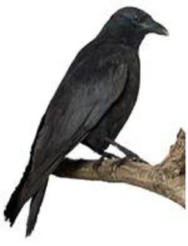 30 Custom Raven Personalized Address Labels
