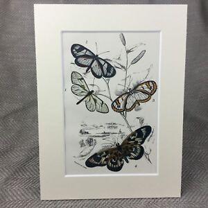 1897-Schmetterling-Oleria-Flora-Ithomia-Antik-Chromolithographie-Aufdruck
