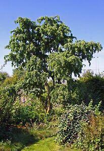 Robinia-pseudoacacia-Tortuosa-Korkenzieherakazie-100-120cm