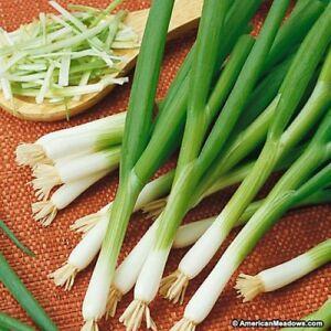 Onion-White-Bunching-500-Seeds
