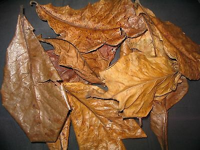 via Airmail Logical Amy's 3 Kg Grade D Indian Almond Catappa Leaves Takes 2-3 Weeks