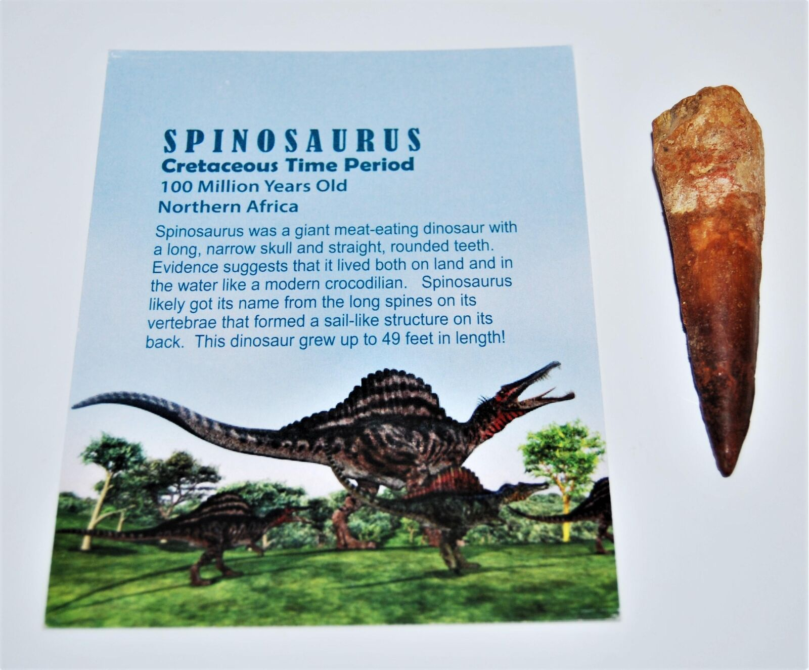 Spinosaurus Dinosaur Tooth Fossil 2 inch to 3 inch Size  14058 4o