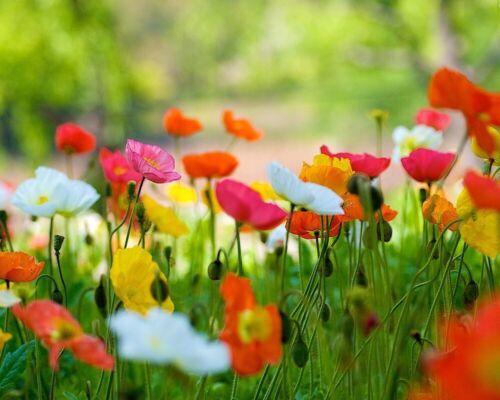 300+ Samen Island-Mohn Mix - Papaver nudicaule seed - Bauerngarten-Iceland Poppy