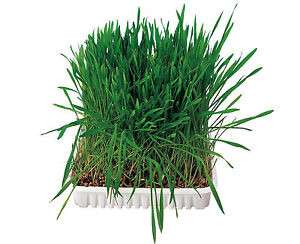 Grow-your-Own-Small-Animal-Grass-Hamster-Guinea-Pig-Rabbit-Food-Cereal-Seed-100g