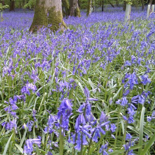 30 x cultivées anglais Bluebell Ampoules Hyacinthoides Non-scripta Facile à Cultiver.