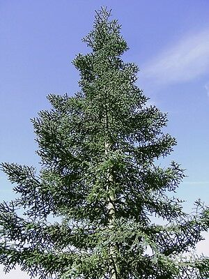 WHOLESALE.WELSH BLUE NOBLE  FIR - CHRISTMAS TREES. 100GMS  3000++ seeds approx