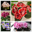 50-Pieces-Graines-Violette-Africaine-Melange-Fleurs-Bonsai-Saintpaulia-ionantha-Jardin-Plante miniature 1