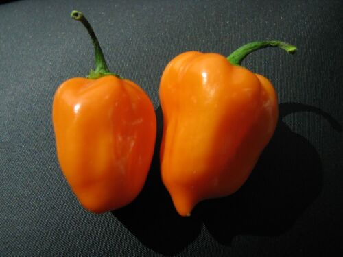 Habanero Orange megascharfe Chilli fructus Chili Capsicum Chinense