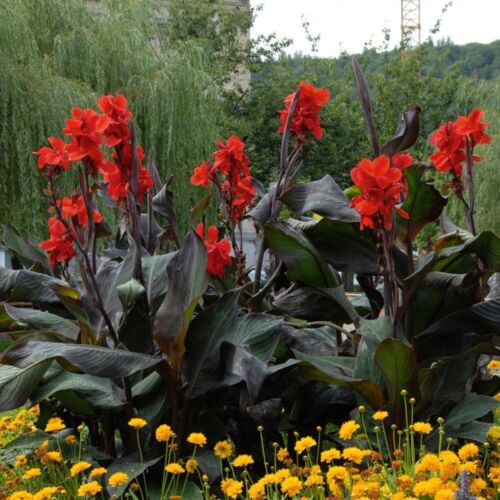 3 Canna Bulb Black Knight Stunning Two Year Old Plant