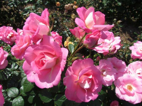 Pink//Silver Reverse 4lt Potted Floribunda Garden Bush Rose CLIFF RICHARD