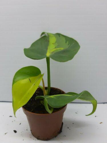 Philodendron Brazil Live Tropical Vivarium Terrarium House Plant