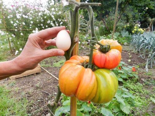 30 Graines de tomate anciennes variété  ananas  jardin bio Bretagne  paysannes 7