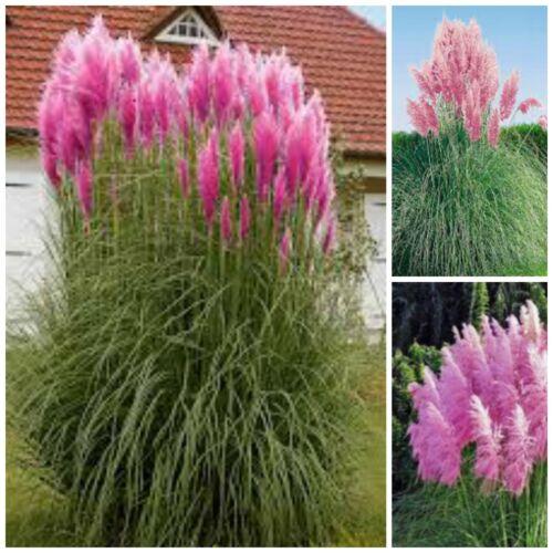 100 semi di Cortaderia rosa