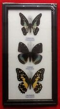 3 REAL BUTTERFLIES BUTTERFLY TAXIDERMY INSECT PICTURE FRAME EMIGRANT ARCHDUKE