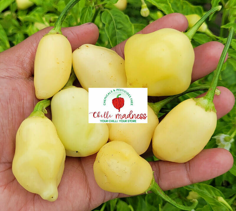 Chilli Sugar Rush Cream Thick Wall & Crisp Pepper Grown in Australia 10 Seeds