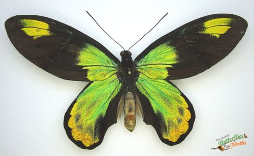 Ornithoptera victoriae victoriae SET x1 Pair A1 Specimen Solomon islands Art.