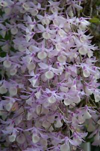 Rare-orchid-species-seedling-Dendrobium-aphyllum