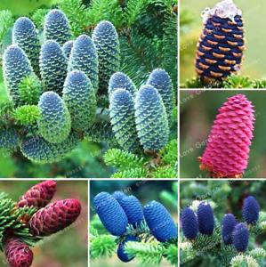 50-Pcs-Graines-coreen-SAPIN-Abies-Koreana-Bonsai-plantes-Accueil-Jardin-Rare-Arbre-Nouveau-C