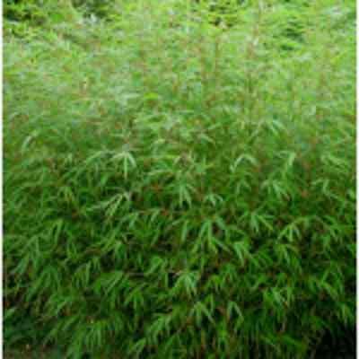 Bambus Fargesia Rufa 30-40 cm