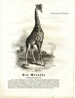 The Giraffe, 1841 Original Antique Wood Engraving.