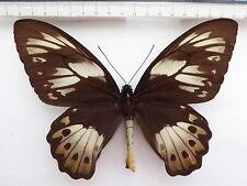 Ornithoptera priamus ssp.poseidon Babo  , Indonesien  416