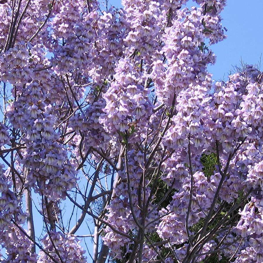 Paulownia Elongata - PINK FOXGLOVE TREE - 50 Fresh Seeds - Princess Empress Tree