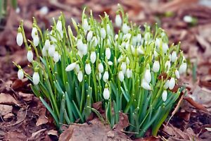 100-snowdrops-spring-galanthus-nivalis-single-snowdrop-bulbs-plants-seeds-bulbs