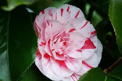 1X CAMELLIA JAPONICA LAVINIA MAGGII PLANT - EVERGREEN SHRUB - 30-40cm P9