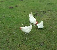 BRESSE GAULOISE reinrassig (groß) 20 Eier Ausstellungszüchter (keine Bruteier)