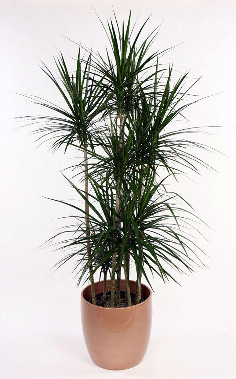Madagascar Dragon Tree Live Plant Dracaena Marginata 4 Pot Easy Grow Houseplant For Sale Online