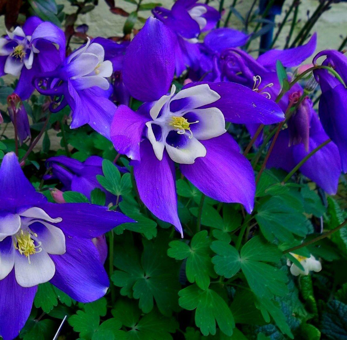 Dark Purple Columbine 25 Seeds Comb S H Hummingbird Plant For Sale