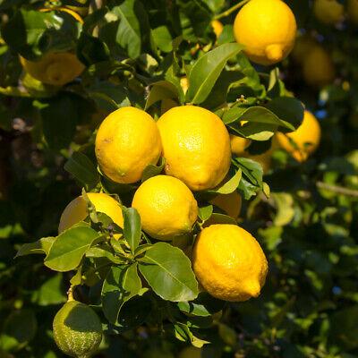 Dwarf Lemon Tree 20 PCS Natural  Indoor Home Garden Potted Bonsai Fragrant Seeds