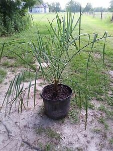 XXXL RARE SILVER BUTIA x JUBAEA HYBRID +- 5 FT PALM - COLD HARDY TO 10 DEGREES