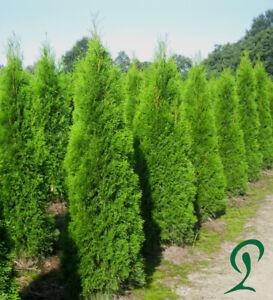 Lebensbaum-Thuja-Smaragd-140-160-cm-20-100-Lebensbaeume-Heckenthuja