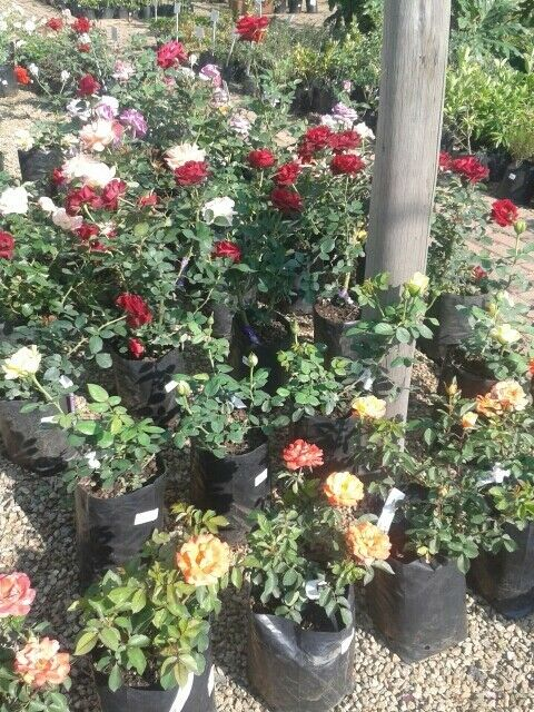 Roses For Sale Near Me >> Rose Bushes And Standards Randburg Gumtree Classifieds South Africa 123434325