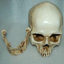 Lifesize 1:1 Realistic Human Skull Replica Resin Model Anatomical Ornament