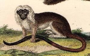 PRIMATE-MONKEY-Original-1821-BUFFON-ANTIQUE-PRINT-Hand-Coloured-Animal-Engraving