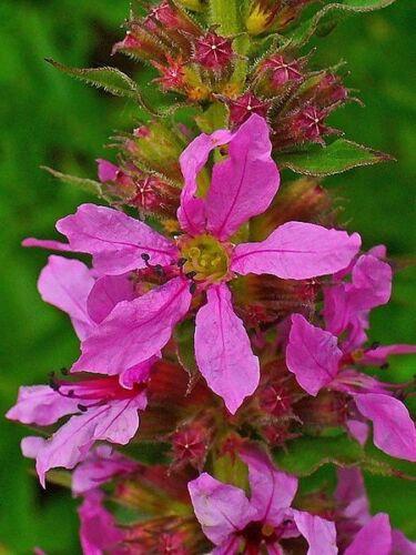 1000 PINK WINGED LOOSESTRIFE Lythrum Alatum Flower Seed