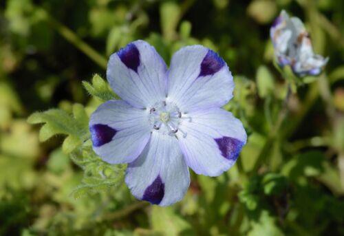 Nemophila maculata 200 Fresh Seeds Five Spot