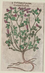 JOHN-GERARD-BOTANICA-MATTHIOLI-1597-TRIFOLIUM-TRIFOGLIO-TREFOIL