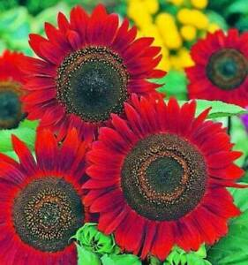 Red Sunflower Seeds for Planting - 50 Seeds