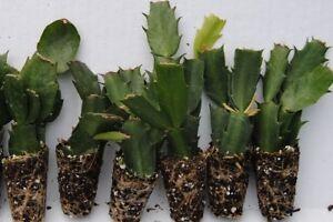 Set-21-Christmas-Cactus-Schlumbergera-Starter-Plants-034-6-Named-Varieties-034