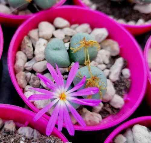 conophytum globosum pot 5,5cm r 1648 spilly cactus succulente caudex pianta